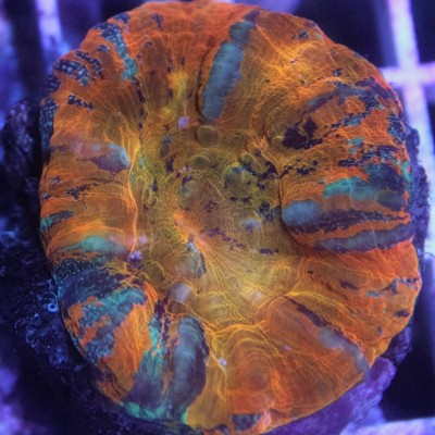 Australian Scoly's on Sale!  Coral Frags B1G1 1/2 OFF!
